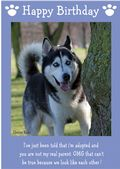 "Siberian Husky-Happy Birthday - ""I'm Adopted"" Theme"